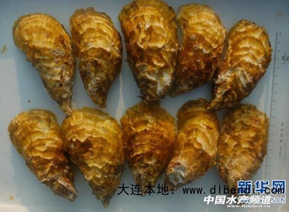 福建自主培育葡萄牙牡蛎获批国家水产新品种